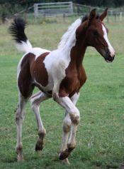 Paardenfokkerij-Welten...